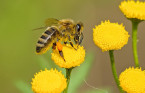 For the love of bees and their impact on Canadian ecosystems