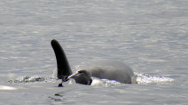 Another baby orca welcomed in an endangered pod in B.C., only enemy is pollution