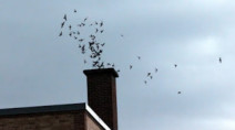 4,500 migrating birds move into chimney of Vancouver Island museum