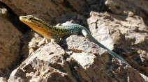 About the cool lives of frozen lizards