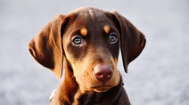 See how humans gave 'man's best friend' those puppy dog eyes