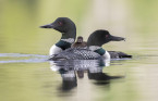 Acid rain, mercury legacy decreases number of loon chicks in Ontario lakes