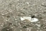 Moose seen floating on lone iceberg in North Dakota River