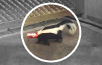 WATCH: Skunk stuck in soda can a reminder to properly store your garbage