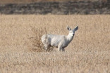 Rare all-white deer photographed in Saskatchewan