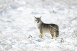 Coyote sightings rise in Canada this spring amid COVID-19