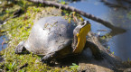 Turtles are out more than ever this time of year. How you can protect them