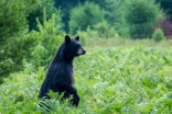 Black bears are hungry in spring. Here are some safety tips