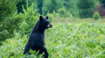 Hungry bears roaming for food may find your bird feeder appealing