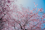 Toronto closes High Park during cherry blossom bloom