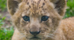 Meet Bahati, the lion cub used as the model for Simba in the 'Lion King'