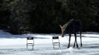 Curious moose crashes 2 men's ice-fishing outing on Ontario lake