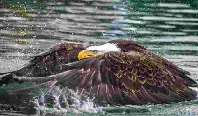 https://images.twnmm.com/c55i45ef3o2a/1c9hXGWKlvDOMw6rAgUUyj/d0b0bdd37eacc0386de46b3e0f2f68ee/eagle_-_Christian_Sasse_-_Dutch_Harbour__Alaska_-_March_10__2015.jpg?fit=scale&w=600&q=80&fm=jpg&h=400