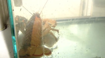 1-in-50 million lobster found in Nova Scotia