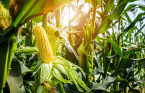 'Corn sweat' is real and it can make heat waves even more humid