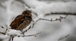 Bye-bye, birdie: North American birds are shrinking, study finds
