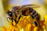 'Catastrophic' Alberta bee population losses blamed on cold winter, pandemic