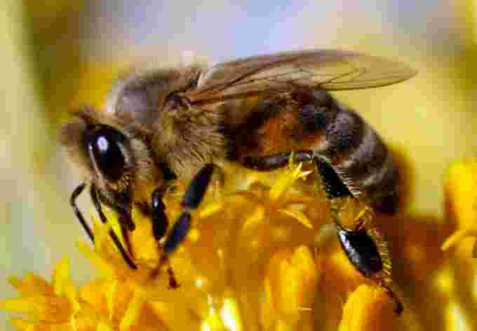 Bee closeup CBC