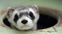 Elizabeth Ann, the first cloned ferret, spurs hope for endangered species