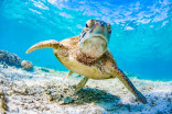 64K endangered turtles found nesting near Great Barrier Reef