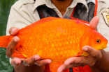 Giant goldfish in Niagara River a reminder not to flush pets