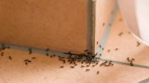 Five ways to keep ants out of your home