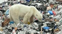 Lost, starving polar bear wanders into Russian city