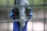Cassowary that killed its owner now available for adoption