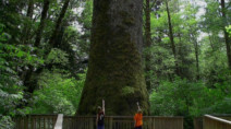 2007: 200-year old Sitka spruce falls victim to aggressive wind storm
