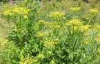 Wild parsnip causes blistering burns on 4 year old in Ottawa