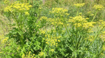 CAUTION: This wild parsnip leads to blistering burns