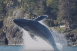 Kayaker spent 2 weeks paddling beside whales, see the video