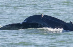Vancouver boaters told to exercise caution after injured whale spotted