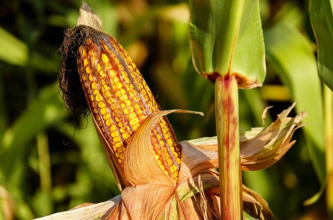 PIXABAY - maíz