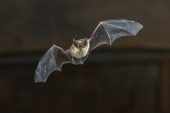 Rabid bat hiding in iPad case bites man