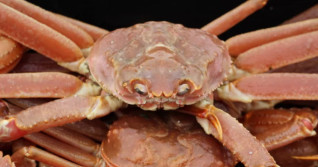 Crab carcasses have a surprising, and highly valuable, use