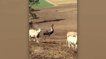 Emu instinctively herds sheep after wildfire, and it's lovely to watch