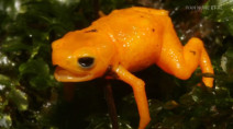 Adorable (but poisonous) toadlet discovered in Brazil