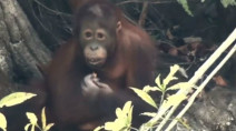 Orangutans suffering breathing issues as Indonesia wildfires burn