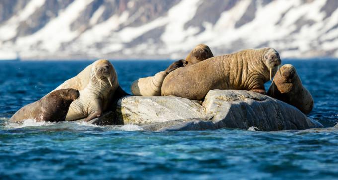 Wikipedia - Atlantic Walrus