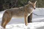 How coyotes and humans can learn to coexist in cities
