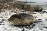 Lack of sea ice in the Gulf of St. Lawrence means more seals on shore