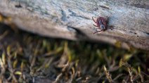 Ticks aren't just a summer problem: How they thrive in winter