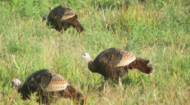 Talking turkey: Five facts about Canadian Thanksgiving