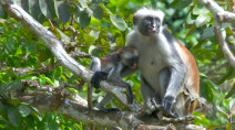 Africa's rarest primates are being protected ... with speed bumps