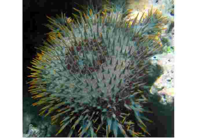 starfish wiki cc