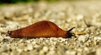 Fast-climbing invasive slug may be spreading brain parasite