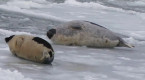 'At least a thousand' seals amaze residents along Bay of Chaleur