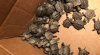 Over 800 turtles rescued from storm drains, housed at university
