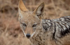 Here's how to safely co-exist with coyotes this spring